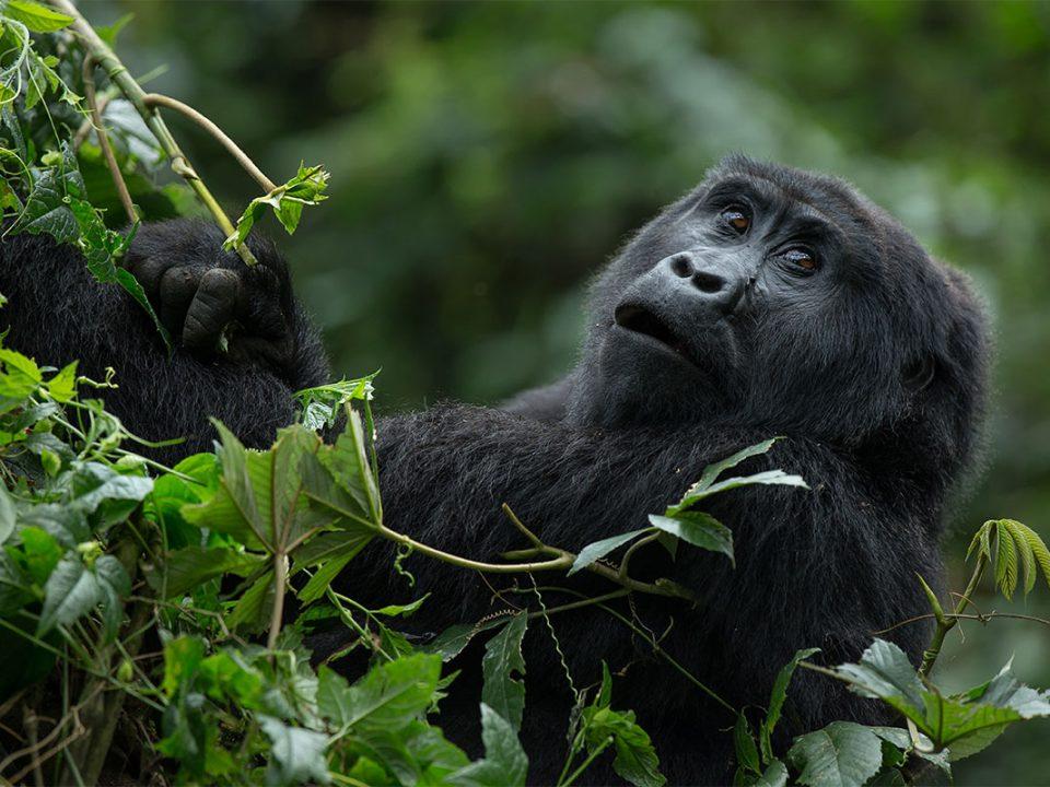 Susa gorilla family
