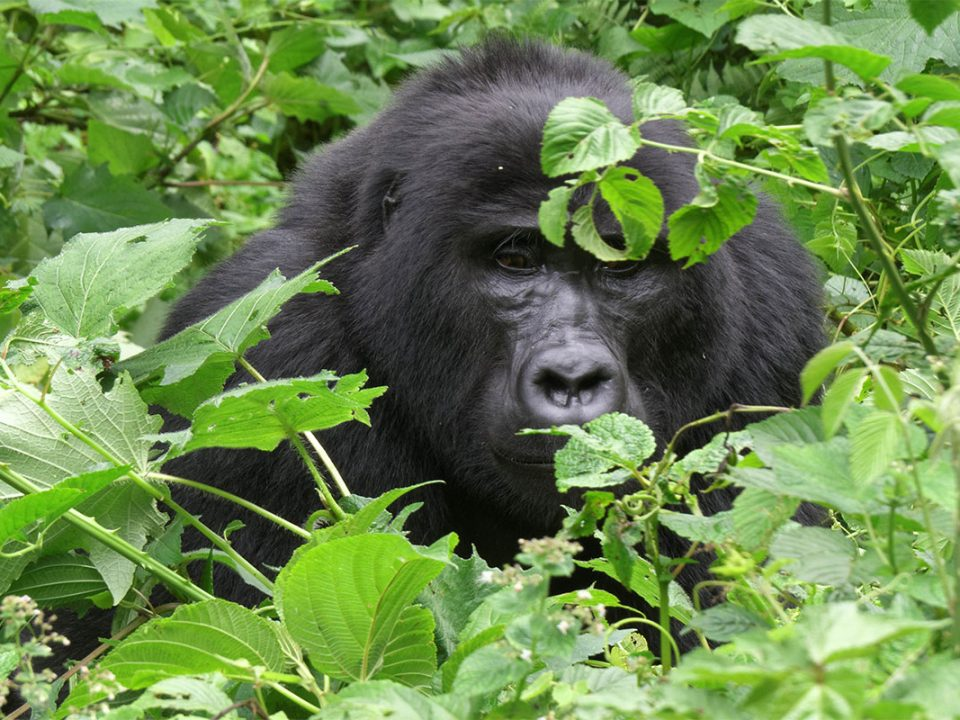 Africa gorilla safaris company