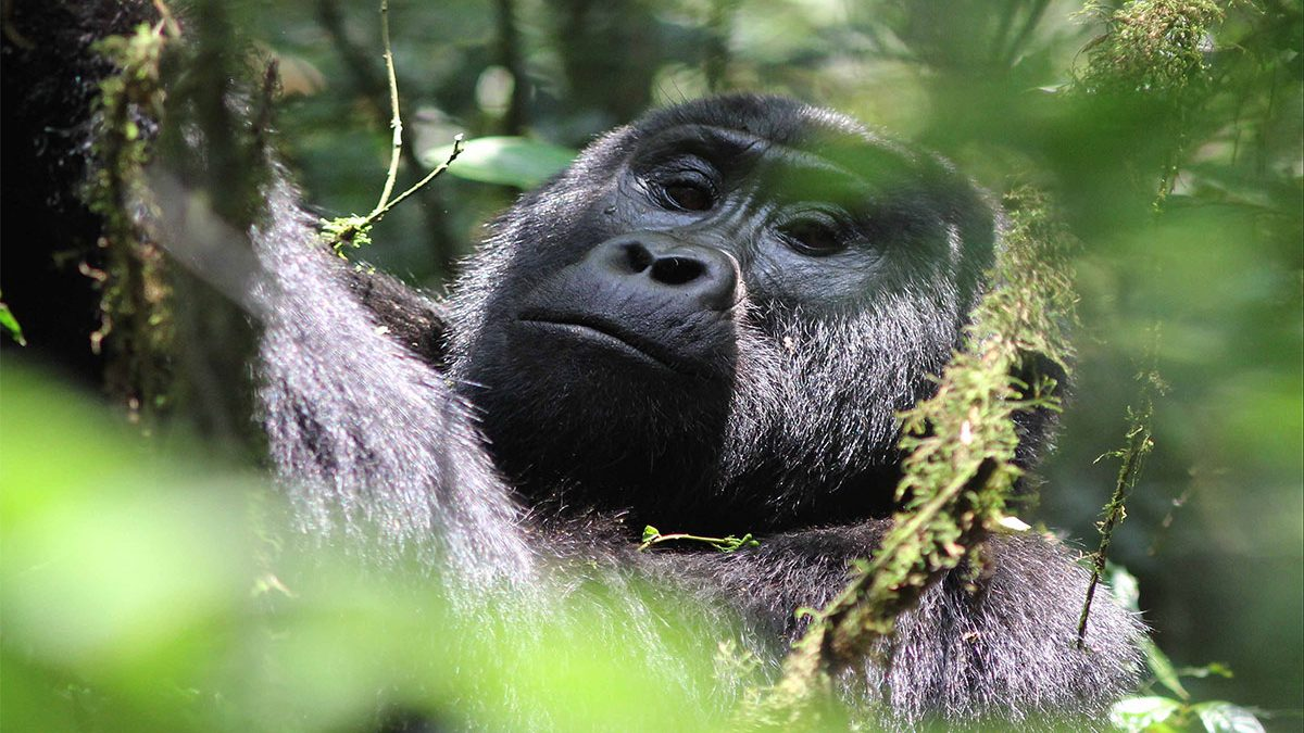 Top places to see Africa mountain gorillas in the wild