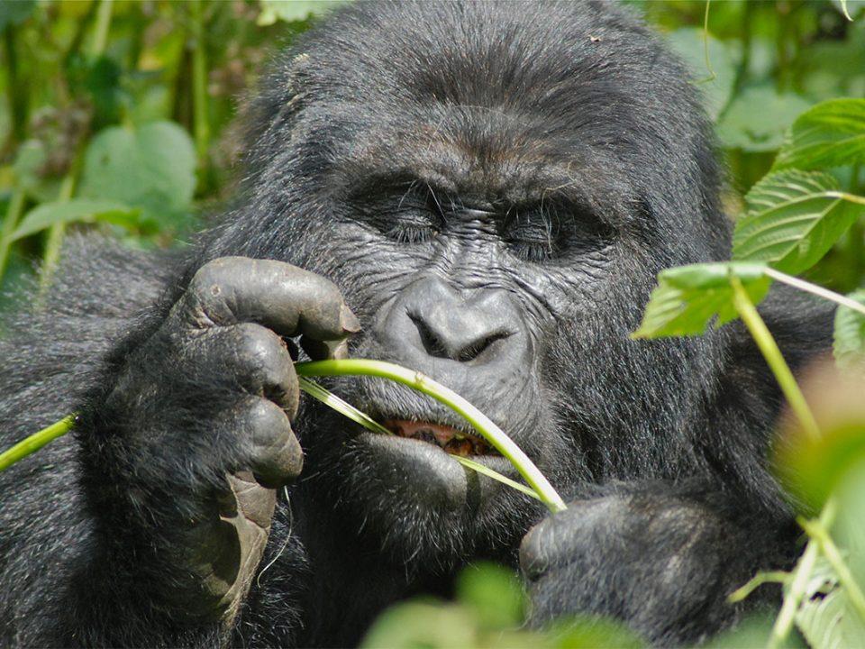 Travel advice for gorilla trekking in Uganda