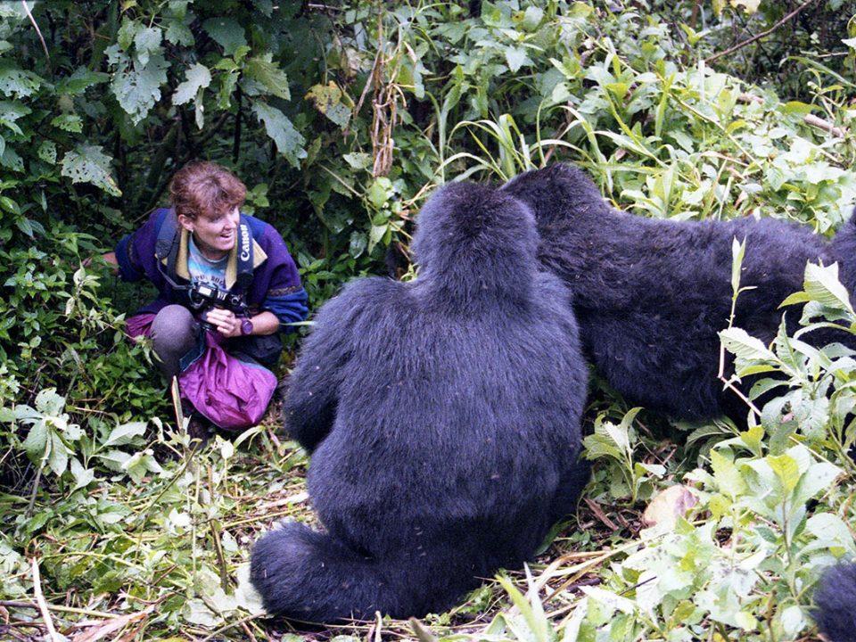 Mountain gorilla trekking in dry season