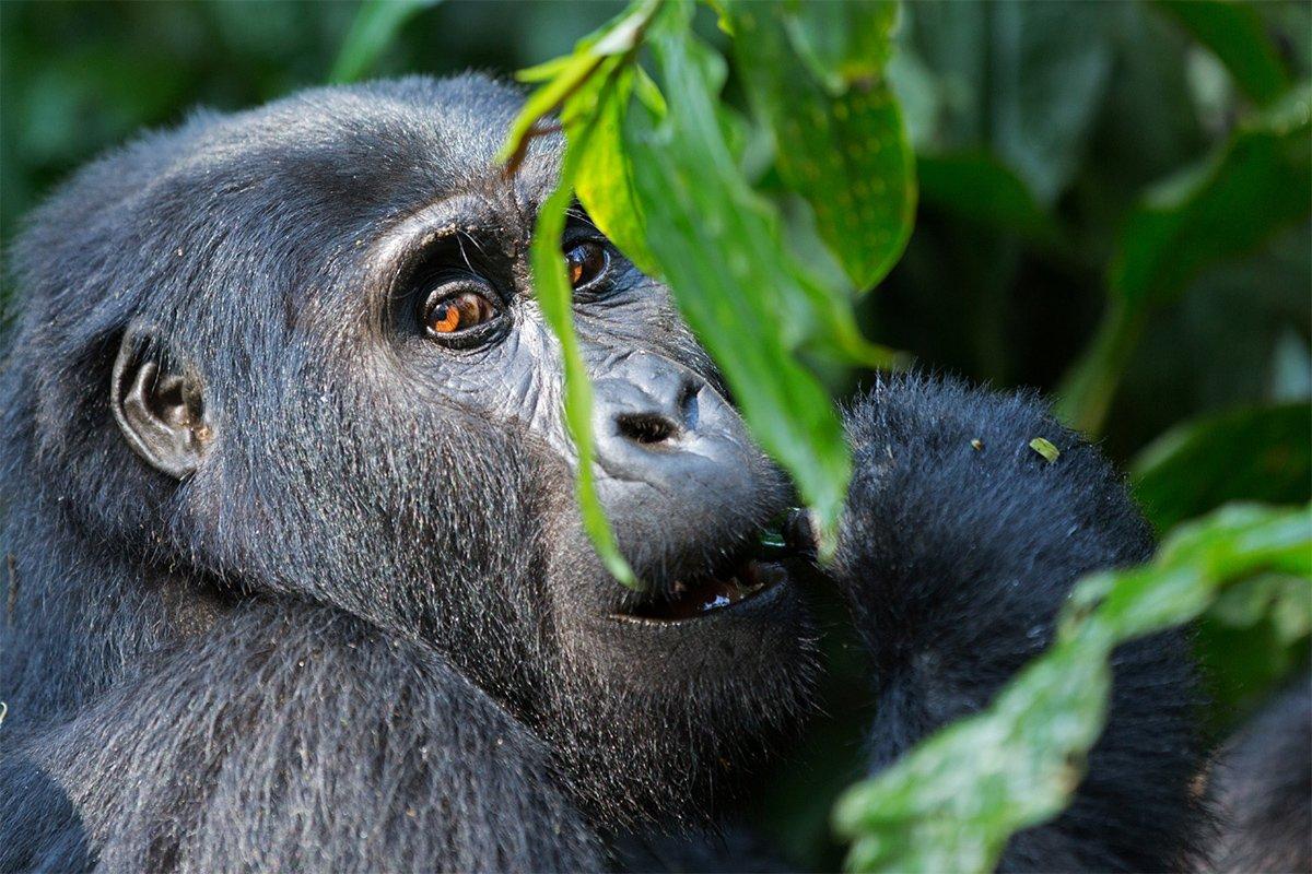 Uganda wildlife gorilla permits