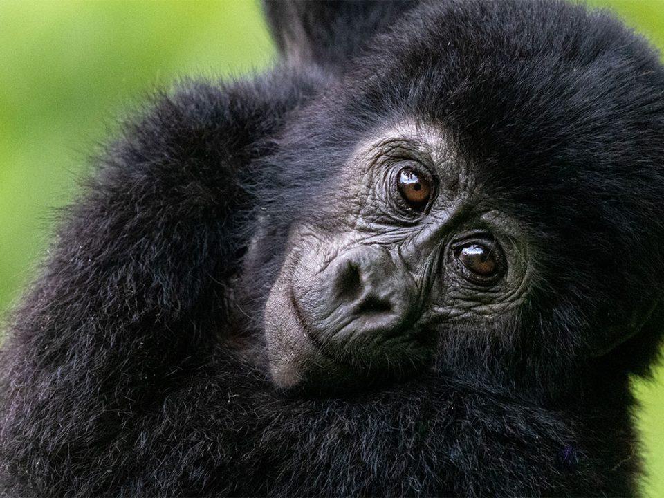 Uganda-Rwanda scheduled safari