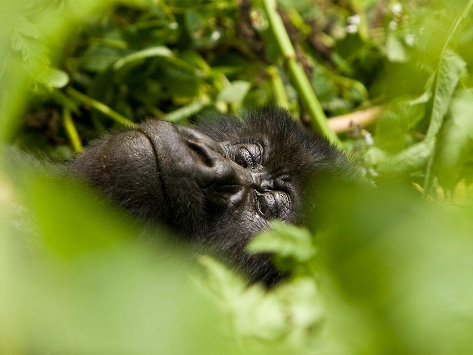 Uganda Rwanda gorilla discovery safari
