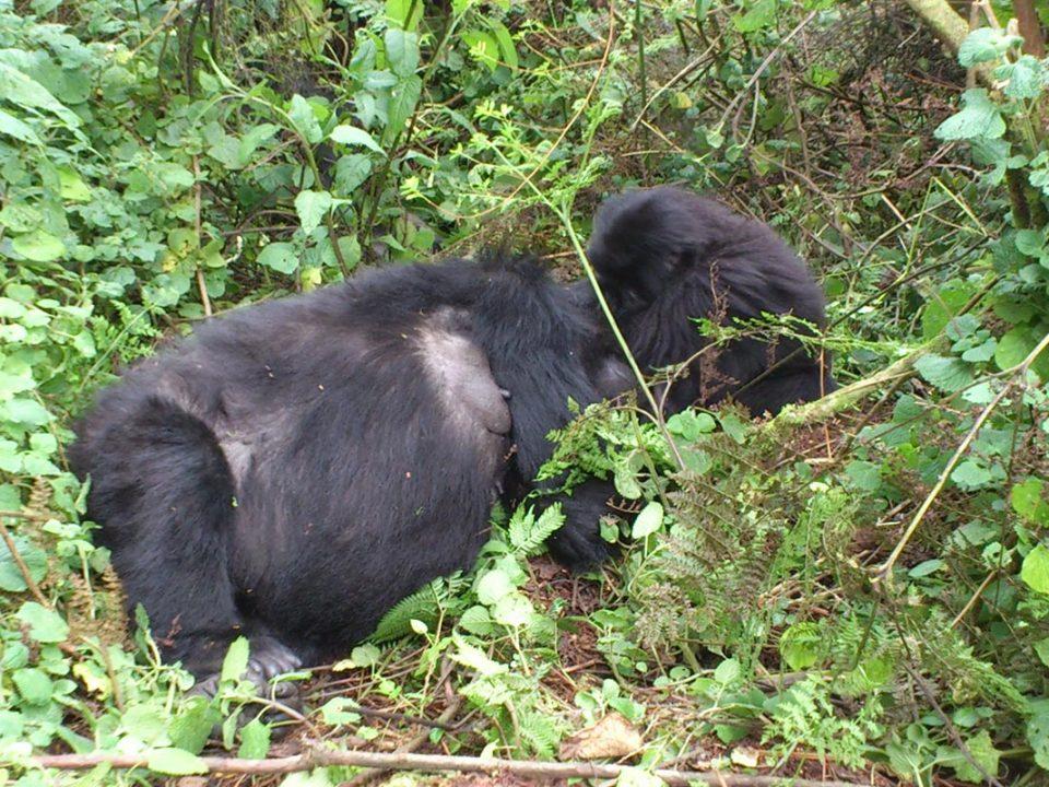 Uganda bwindi gorilla trekking