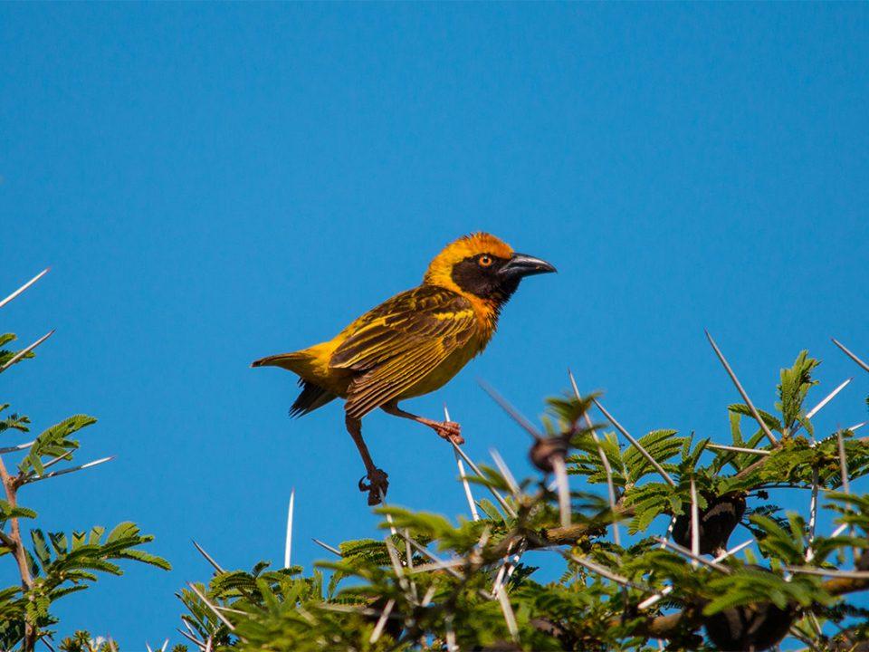 Uganda endemic bird species