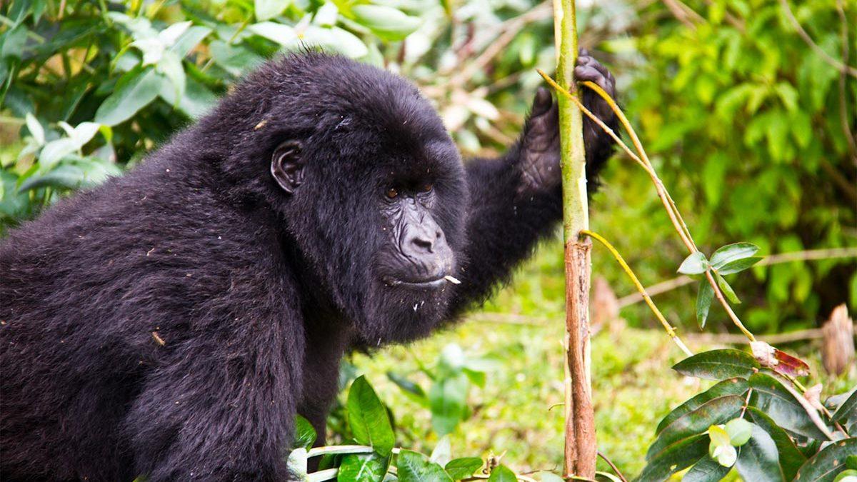 Gorilla Uganda adventures in Bwindi forest