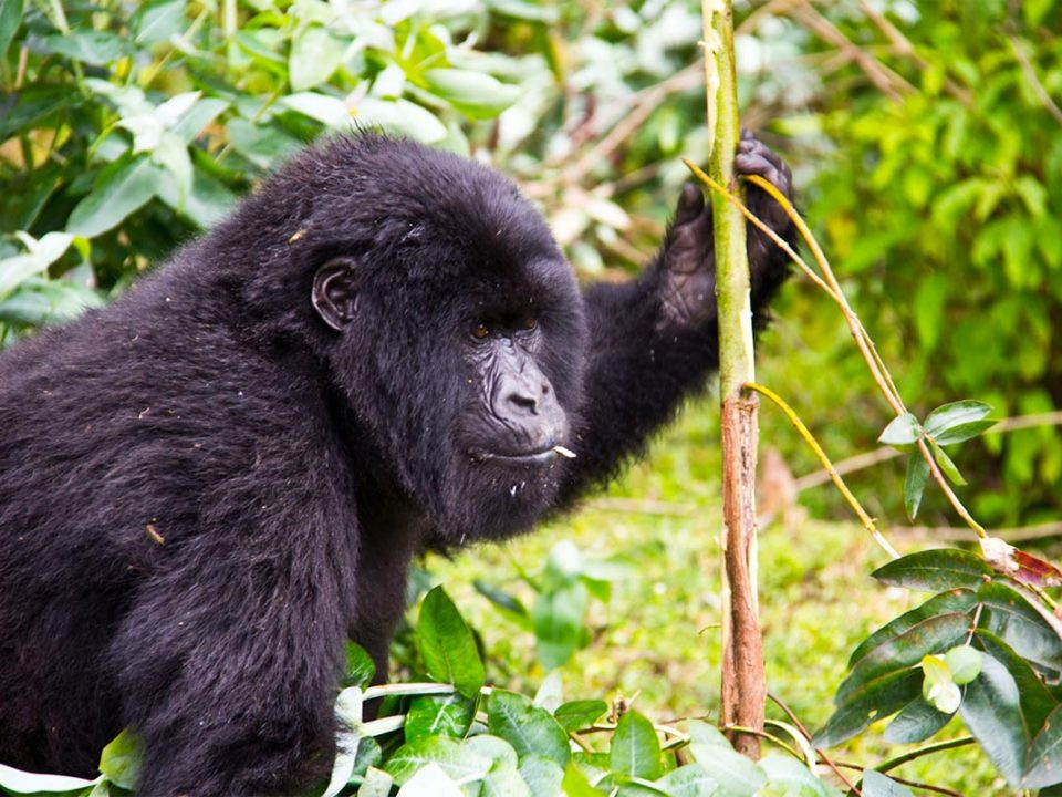 Gorilla Uganda adventures in Bwindi forest