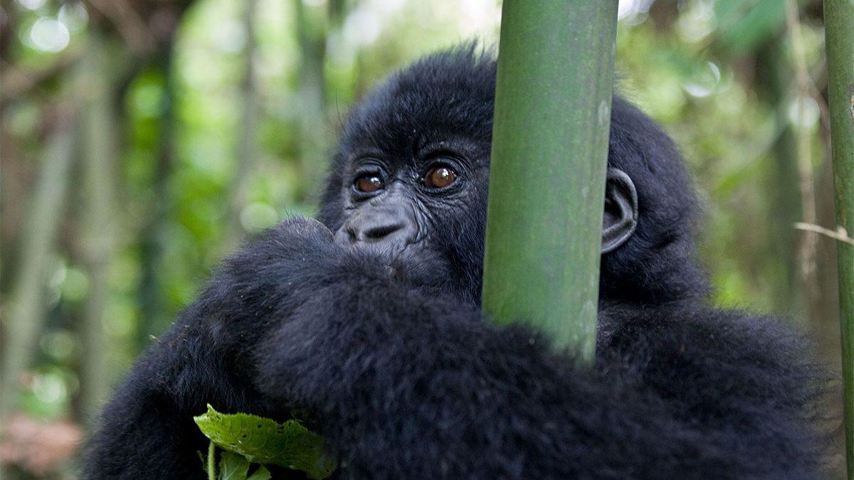 Uganda gorilla permits cost