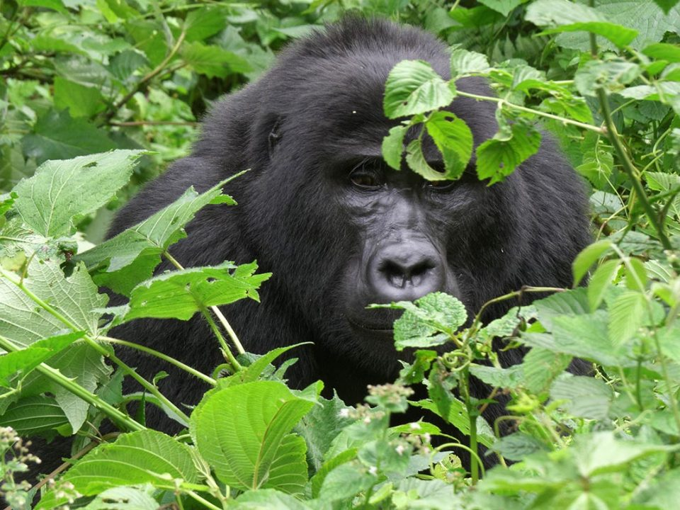 Uganda gorilla perms availability