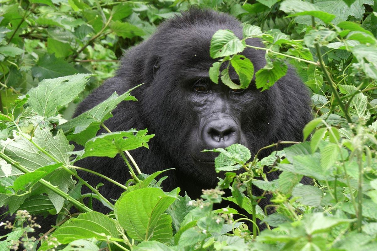 Uganda gorilla perms availability