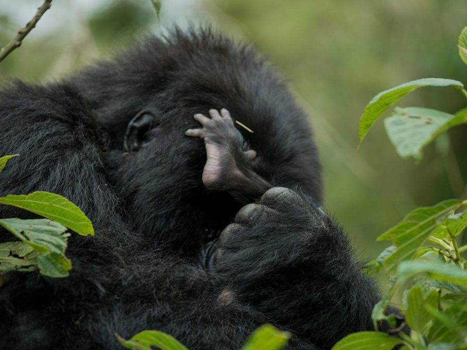 Uganda gorilla trek and safaris