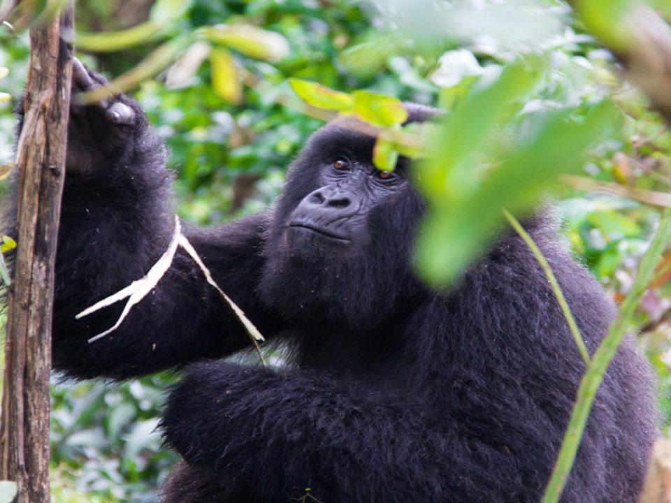 Uganda gorilla trekking from Arusha