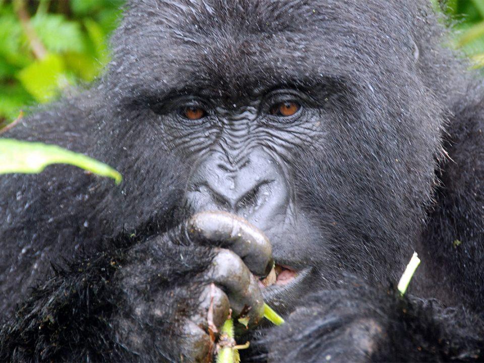 Uganda gorilla trekking safaris