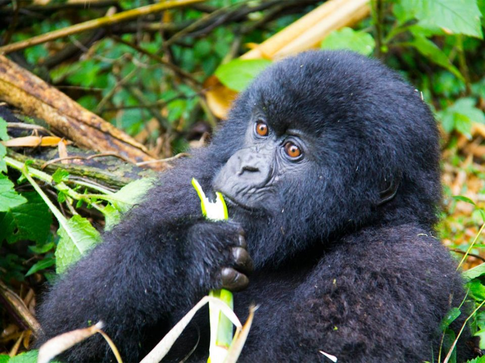 Uganda primate adventures & safaris