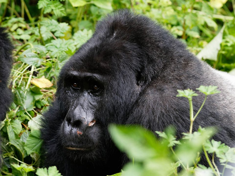 Uganda primate safaris from Kigali Rwanda