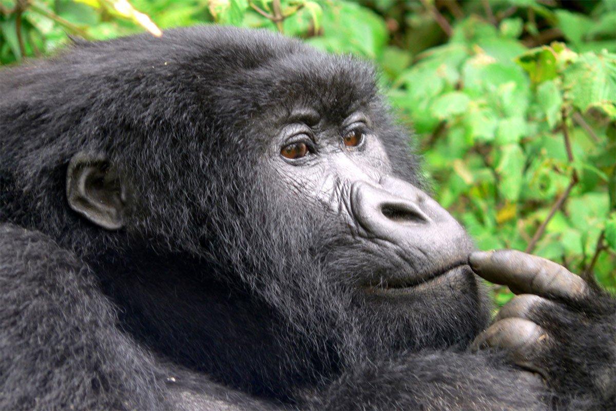 Uganda promotion discounted gorilla permits