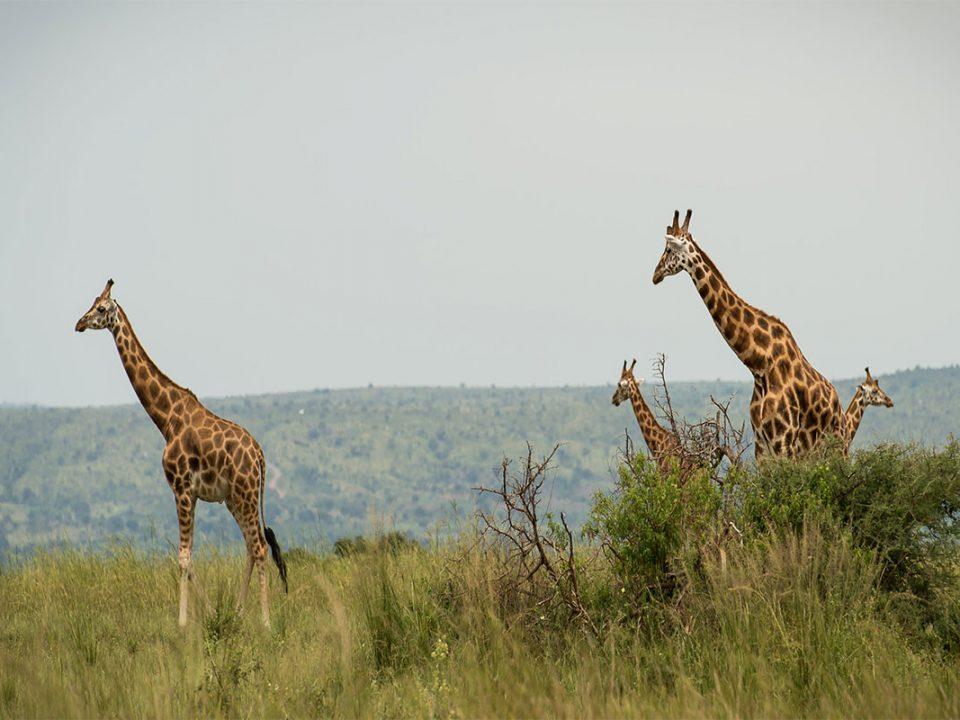 Budget Uganda safaris