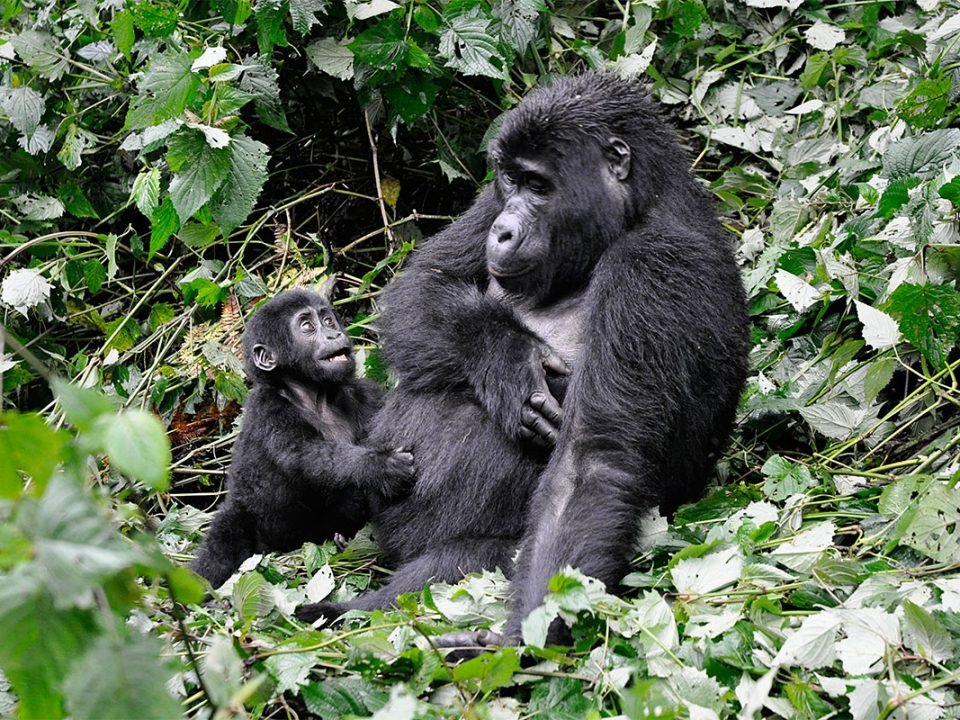 How to book virunga gorilla tracking permits
