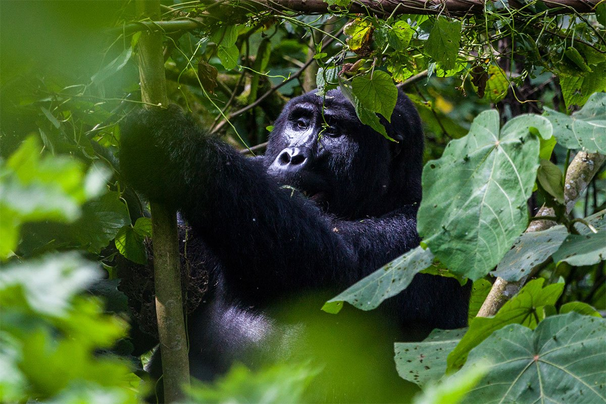 What s a day of gorilla tracking like?