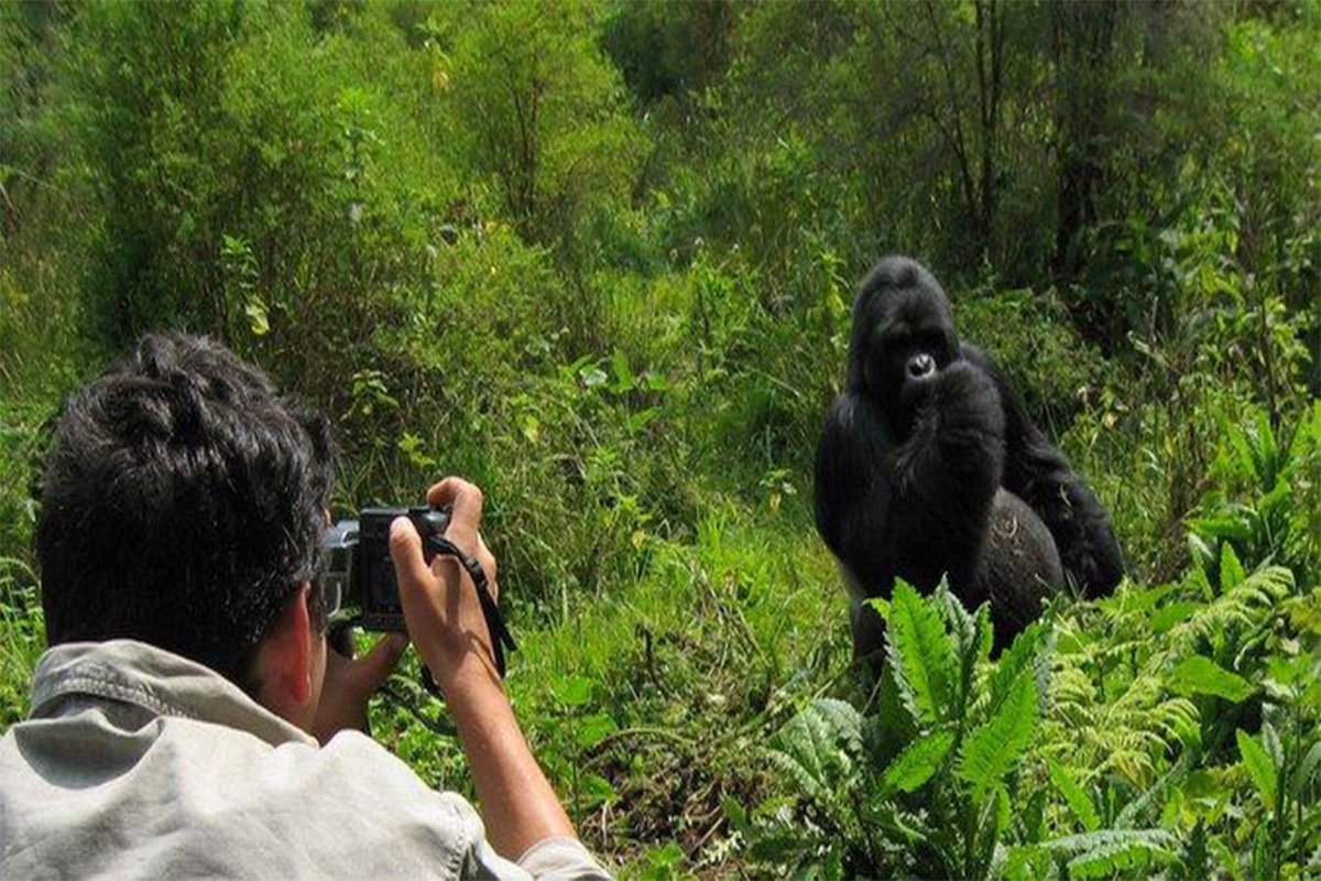 What are the chances of seeing mountain gorillas