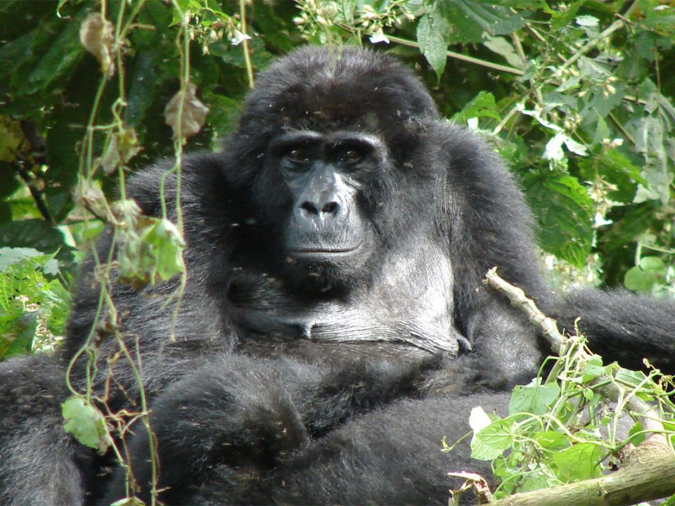 What to do if a mountain gorilla charges