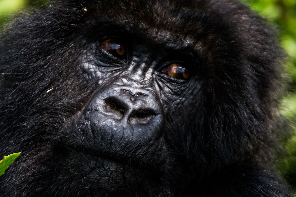 What is the best time for gorilla habituation experience