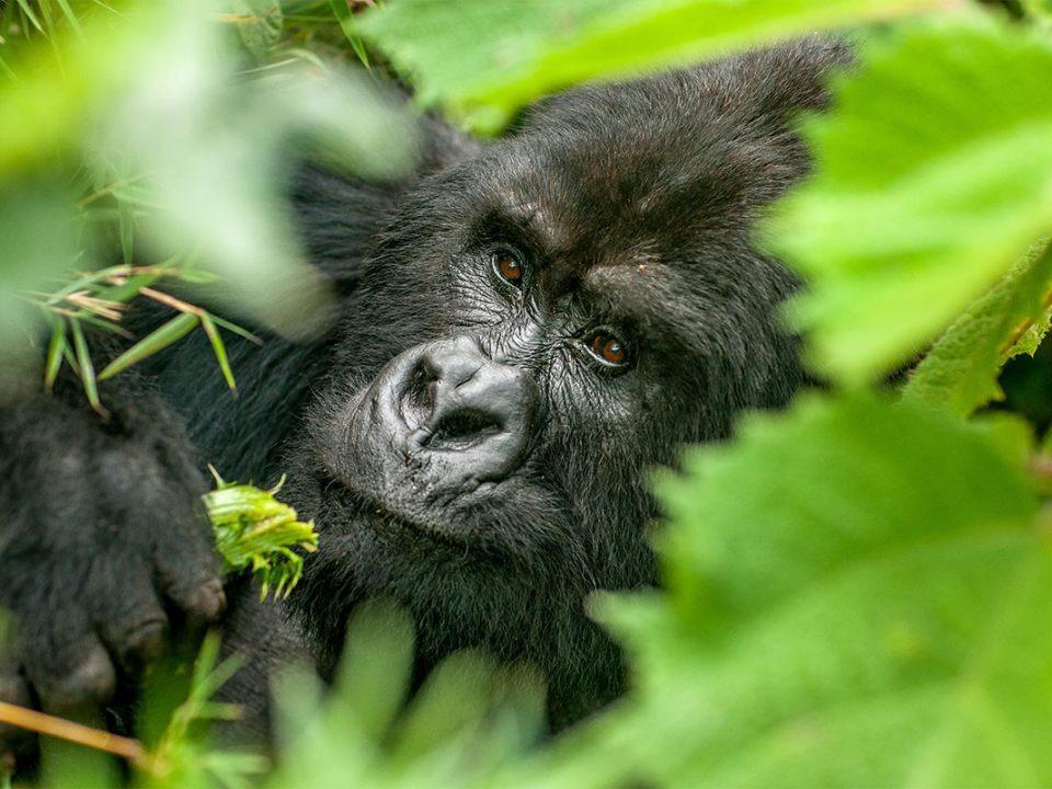 What is the cheapest way to see mountain gorillas in Uganda