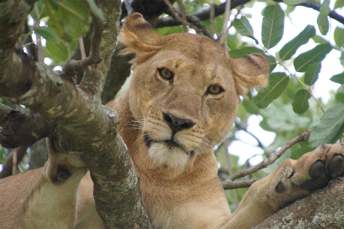 Where to see tree climbing lions in East Africa