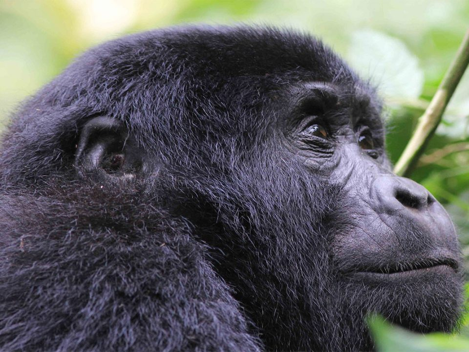 Why are mountain gorillas endangered in Africa