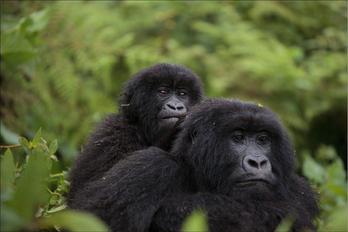 Why book your gorilla permits in advance