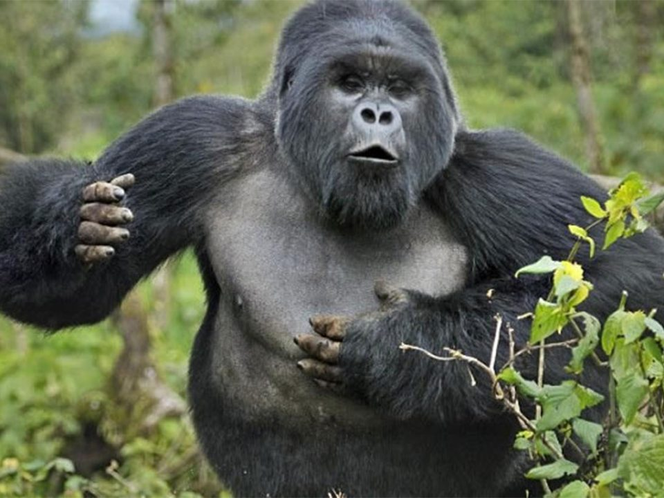 Why do mountain gorillas beat their chest