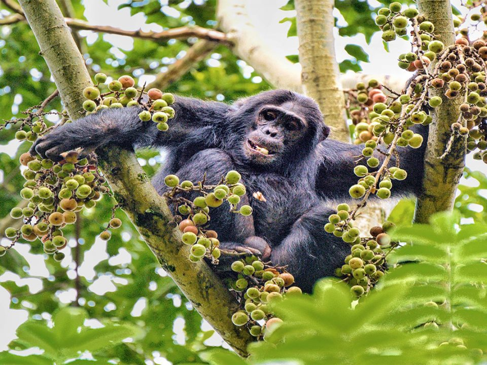Why is tracking chimpanzees in Uganda a great experience