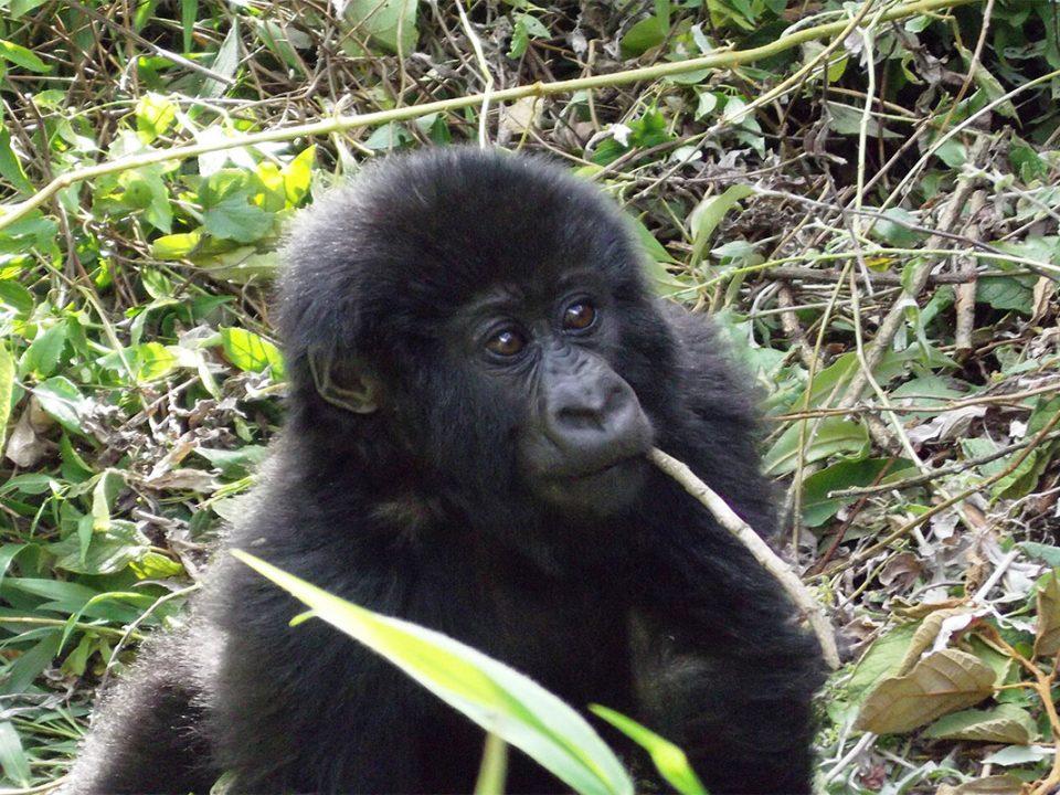 Why mountain gorillas are endangered