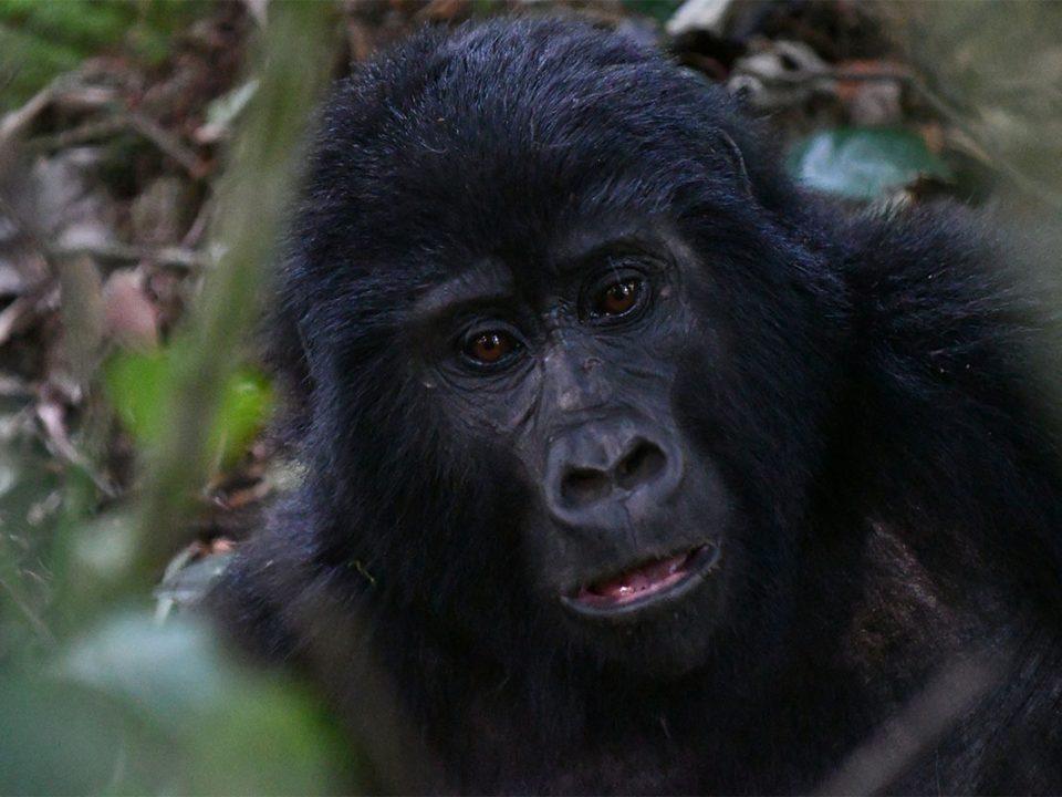 Why should I trek Gorillas twice