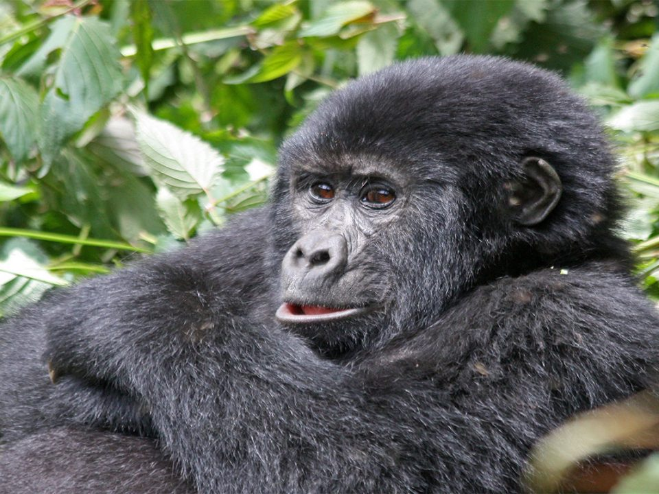 Why trek gorillas in Volcanoes national park