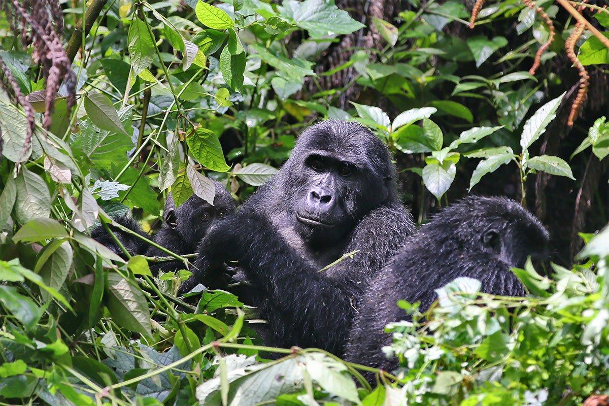 Why trek mountain gorillas in Ruhija sector