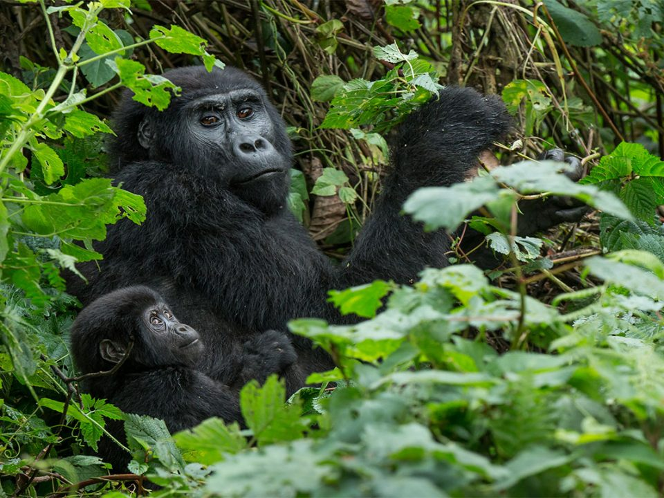 Why trek mountain gorillas in Rushaga sector
