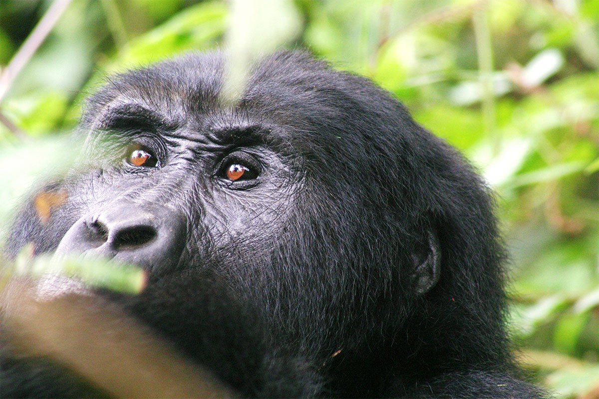 Why you need to see African silverback in Uganda
