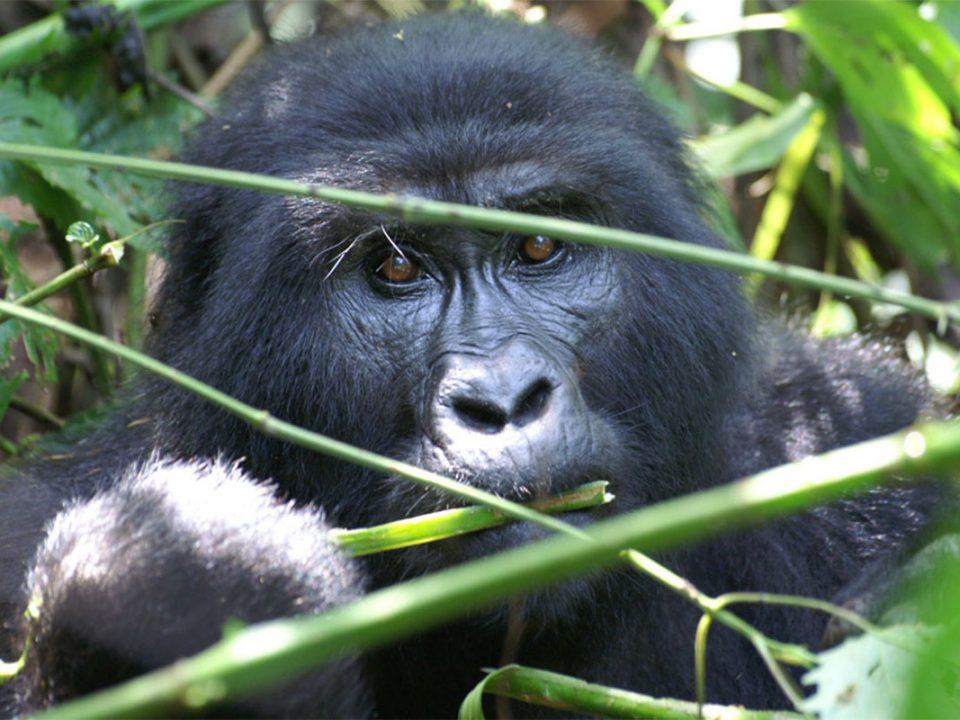 Wild gorilla safaris in Rwanda