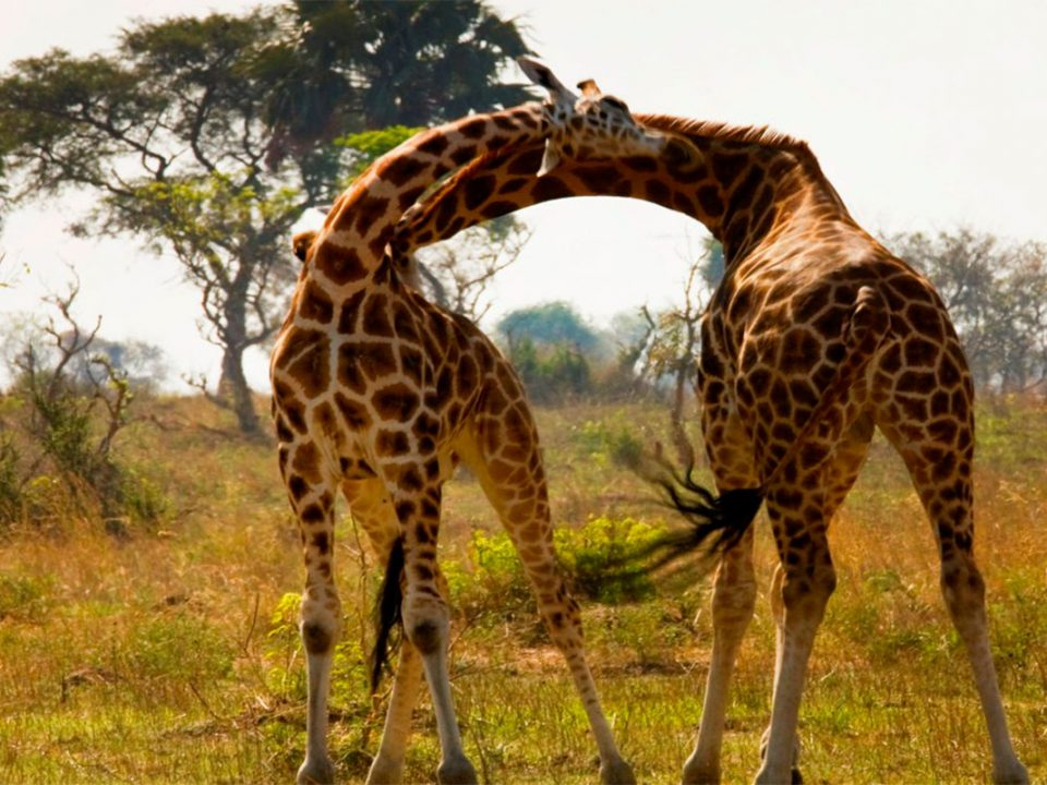 Wildlife in Murchison falls National park