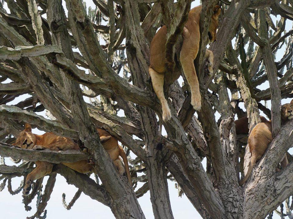 Wildlife Safaris in Uganda, Gorilla trekking and game veiwing