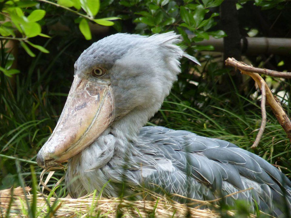 bird watching in toro semiliki