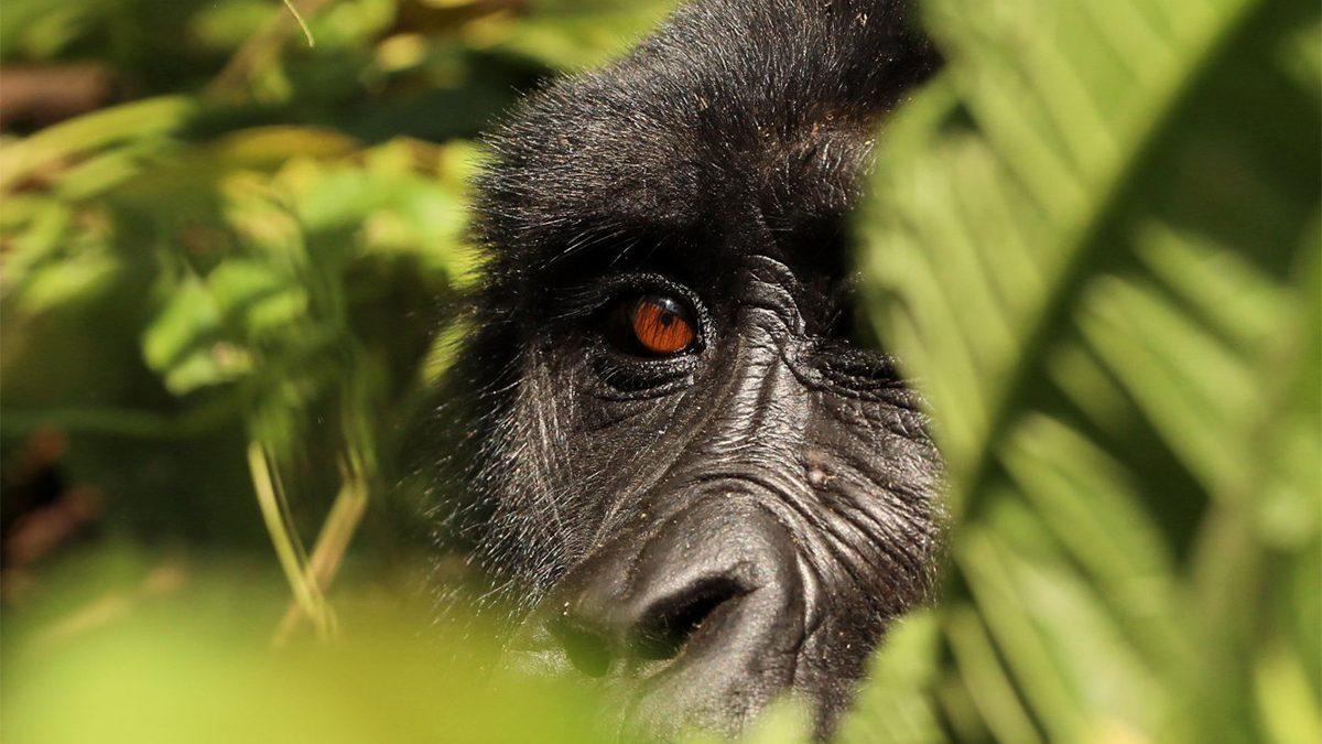 Uganda gorilla trekking from Victoria falls