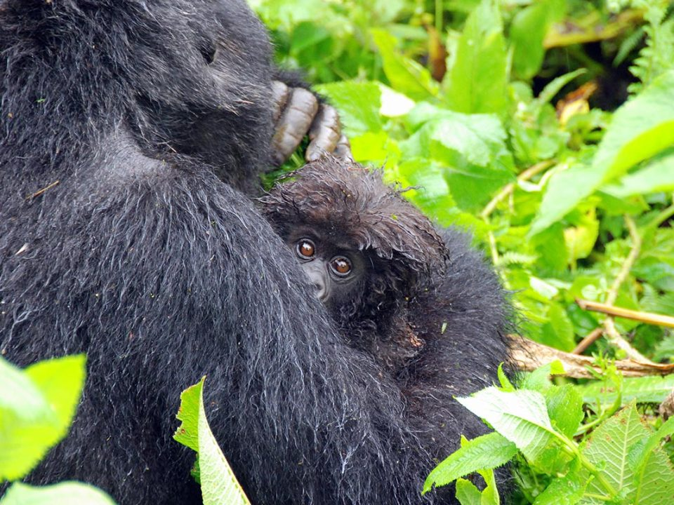 gorilla trekking Uganda weather