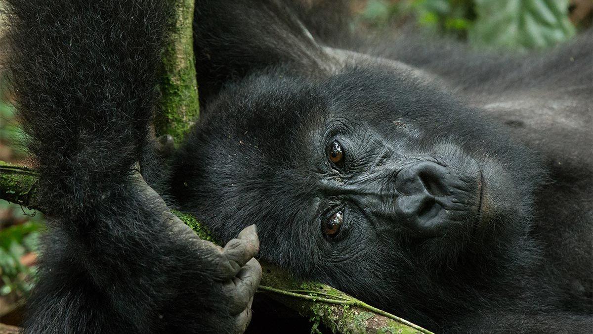 gorilla trekking in Rushaga region