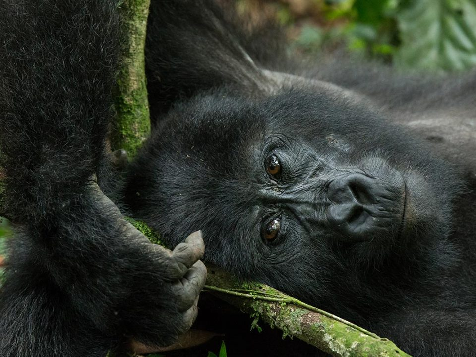 gorilla trekking in Rushaga region