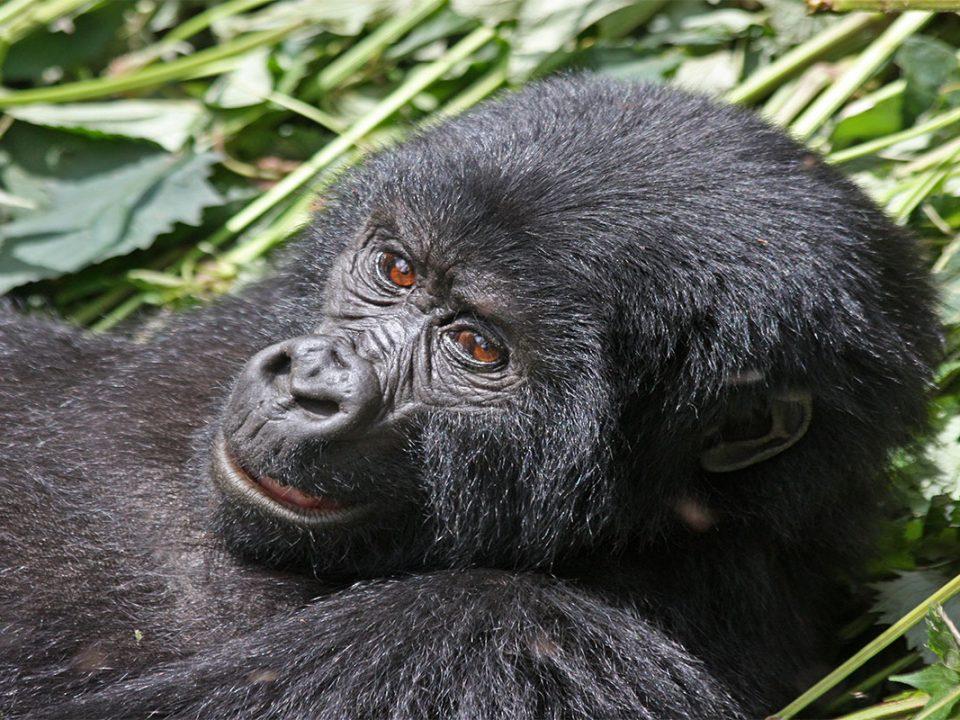 How to buy rwanda gorilla trekking permits