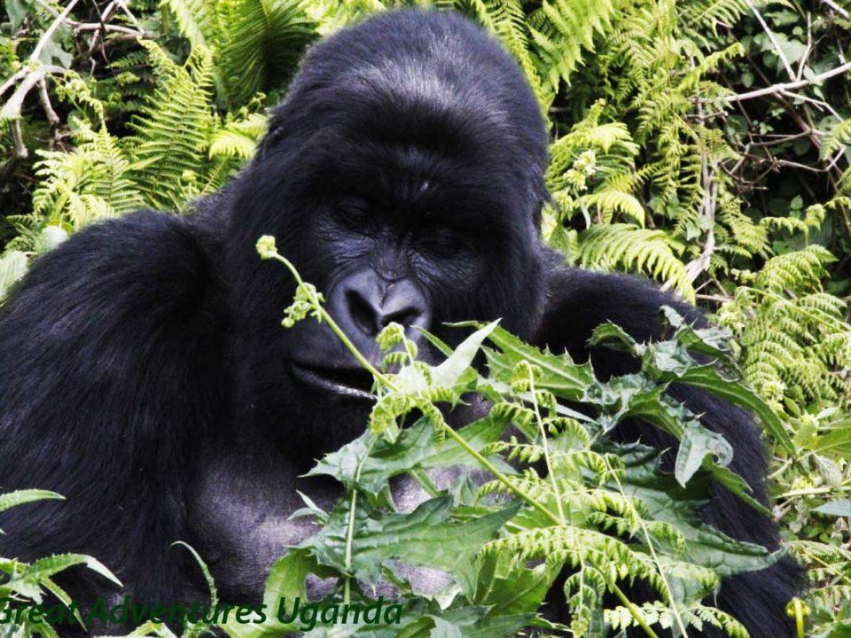 Budget Gorilla safaris,Gorilla tracking Uganda