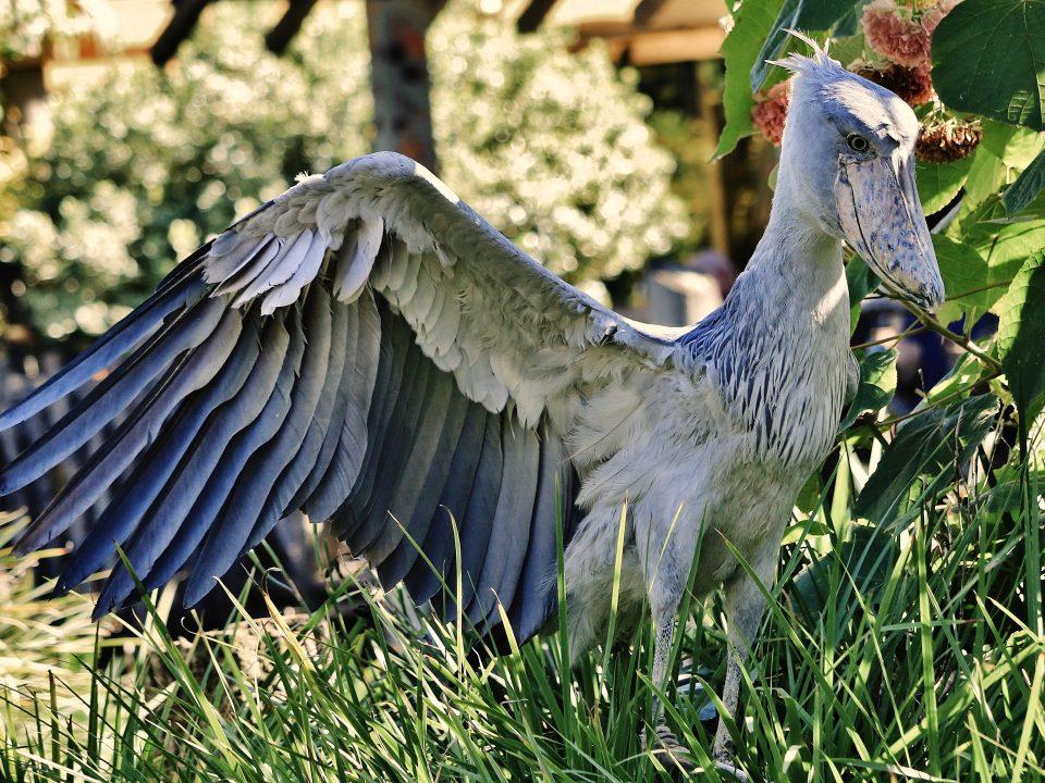 Shoe bill stork in Uganda,Budget Gorilla tracking,visit mabamba swamp
